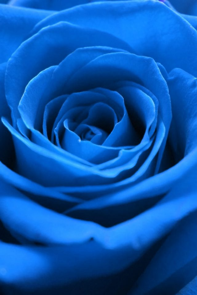 Rose Flower Blue Nature Android wallpaper