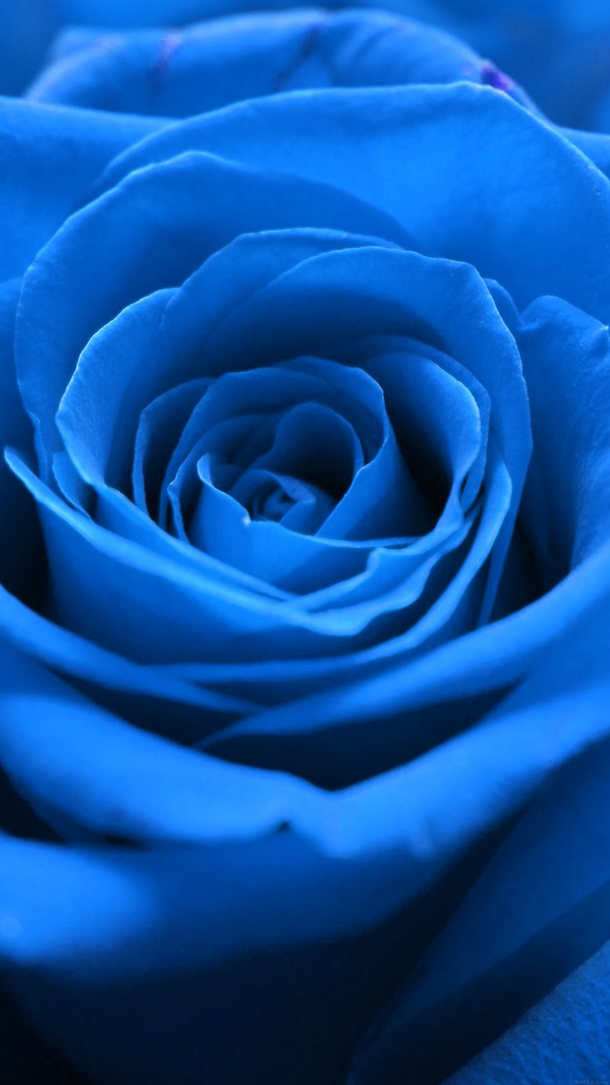 Rose Flower Blue Nature Android Wallpaper Android Hd Wallpapers