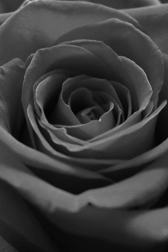 Rose Flower Dark Bw Nature Android wallpaper