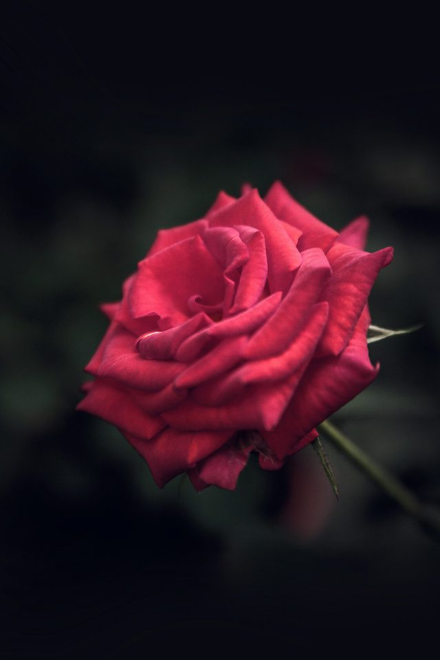 Rose Flower Red Love Nature Blue Android wallpaper
