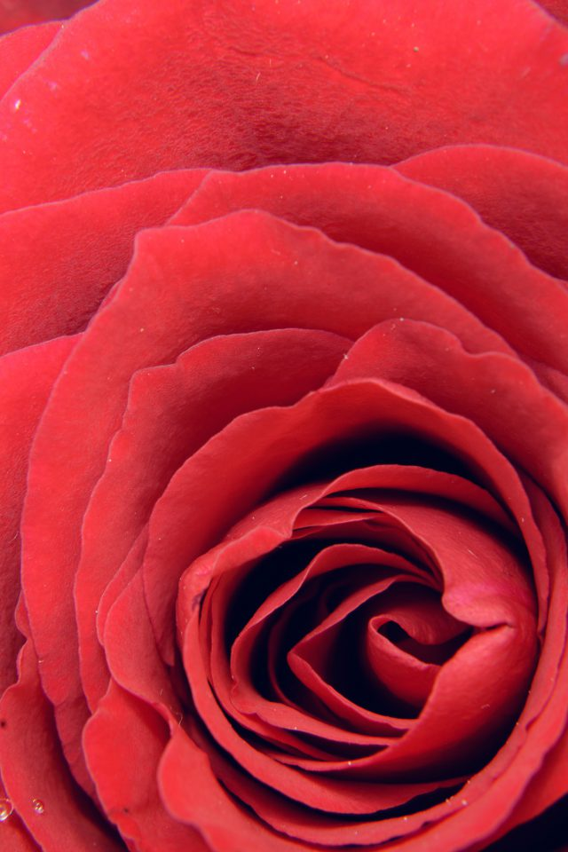 Rose Red Flower Nature Love Android wallpaper