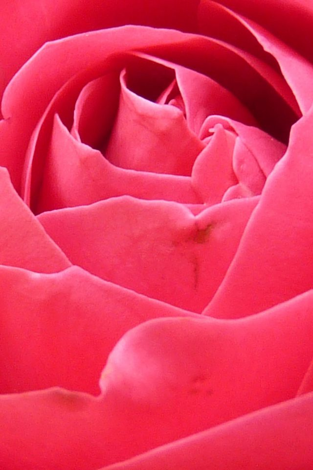 Rose Red Nature Flower Android wallpaper
