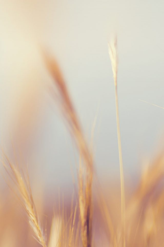 Rye Field Nature Bokeh Flower Android wallpaper