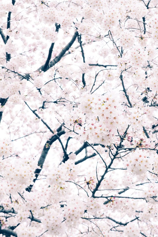 Sakura Cherry Spring Tree Flower Nature Android wallpaper