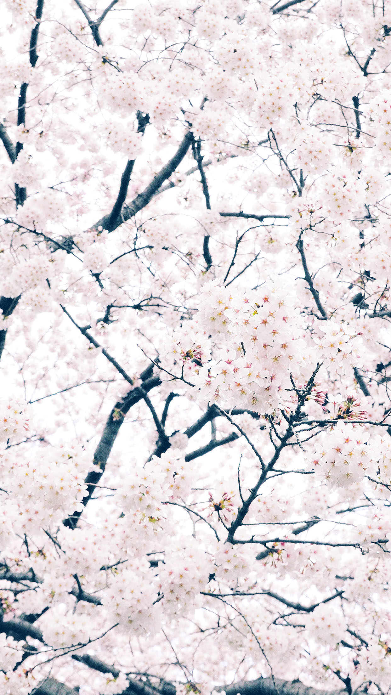 Sakura Cherry Spring Tree Flower Nature Android Wallpaper Android