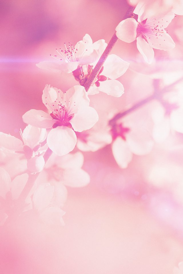 Spring Flower Pink Cherry Blossom Flare Nature Android wallpaper