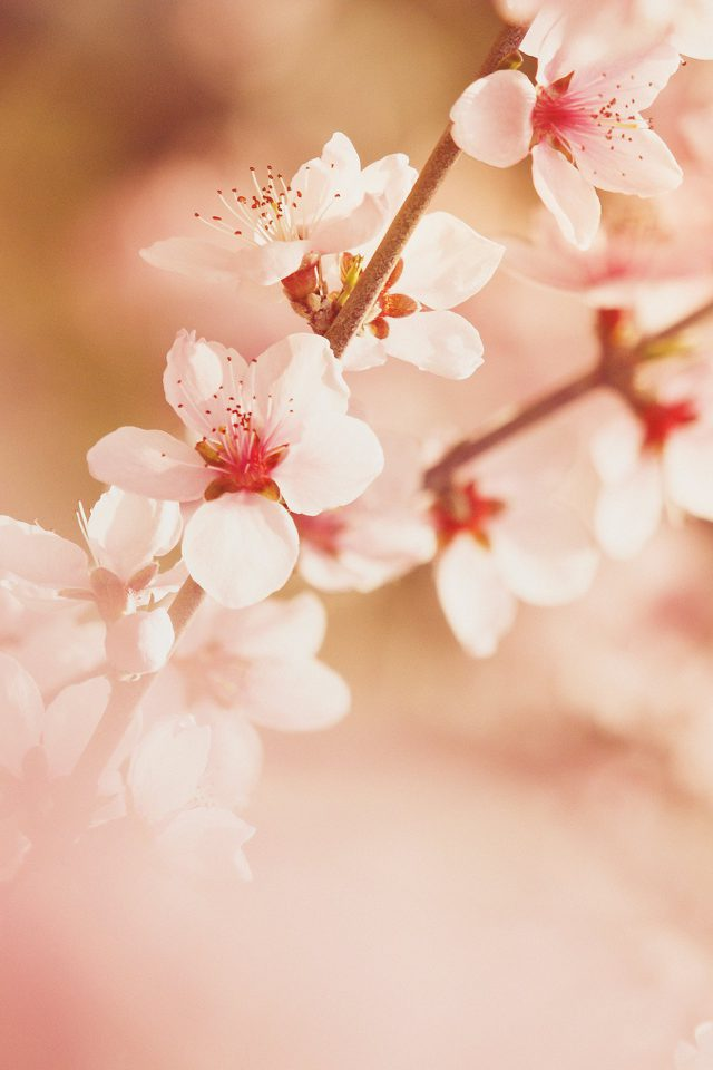 Spring Flower Sullysully Cherry Blossom Nature Android wallpaper
