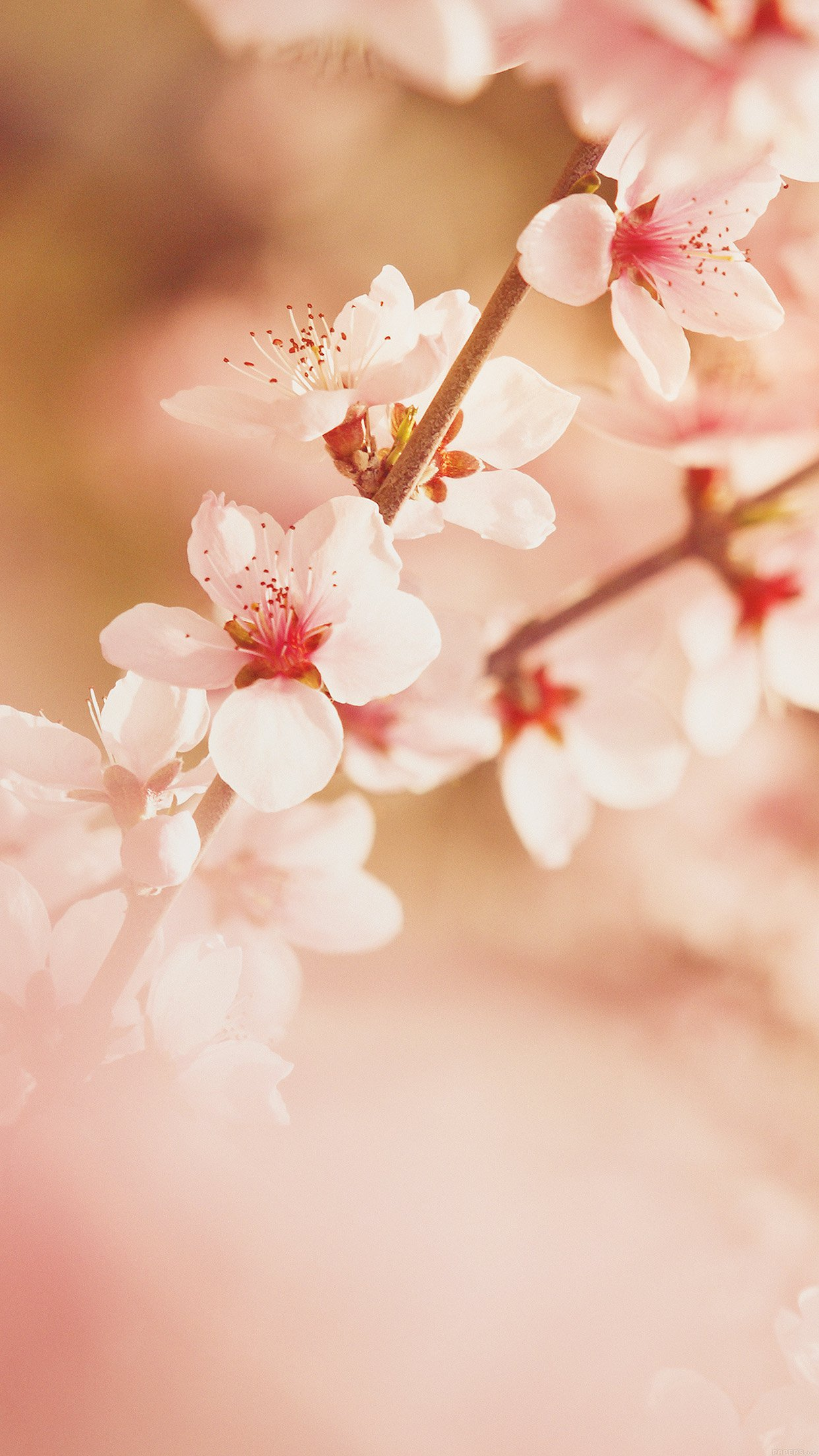 Spring Flower Sullysully Cherry Blossom Nature Android Wallpaper