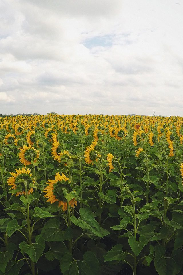 Sunflower Field Nature Flower Green Android wallpaper