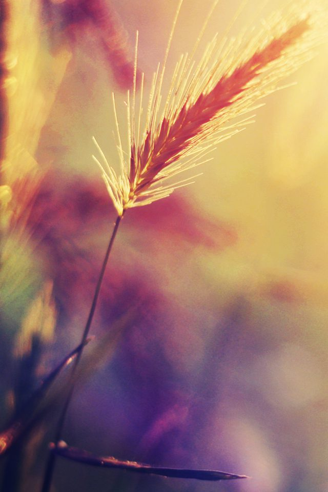 Sunset Reed Flower Flare Nature Android wallpaper