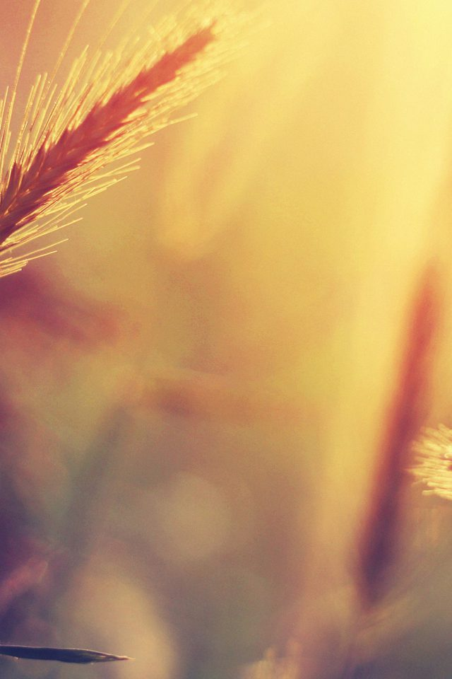 Sunset Reed Flower Nature Android wallpaper