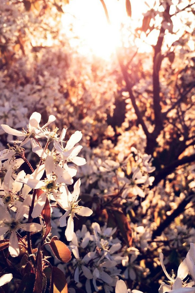 Tree Flower Blossom Spring Nature Android wallpaper