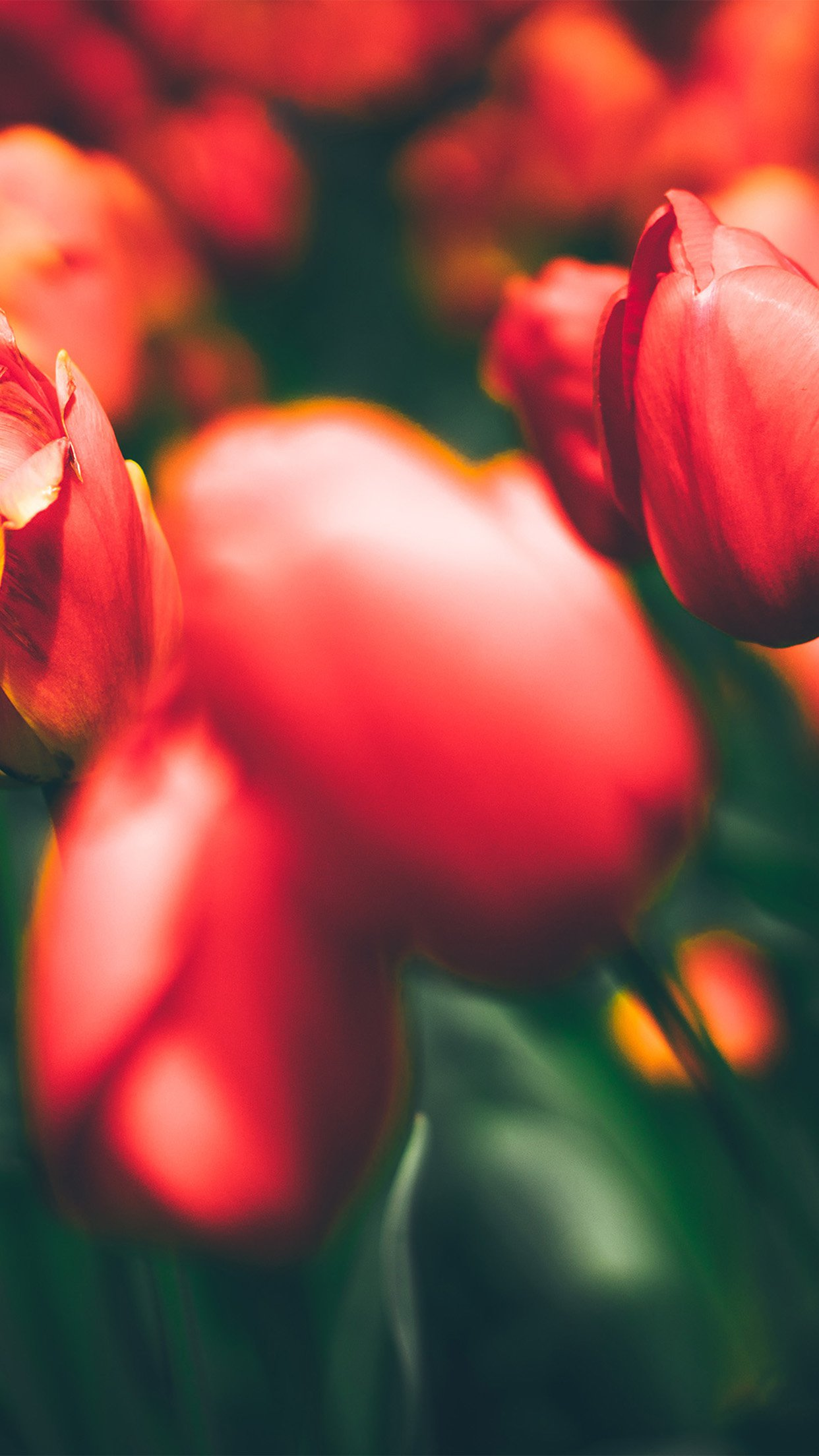 Tulips Red Flower Nature Sprin Android wallpaper