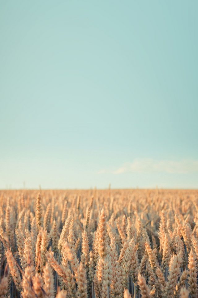 Wallpaper Android Rye Field Sky Nature Android wallpaper