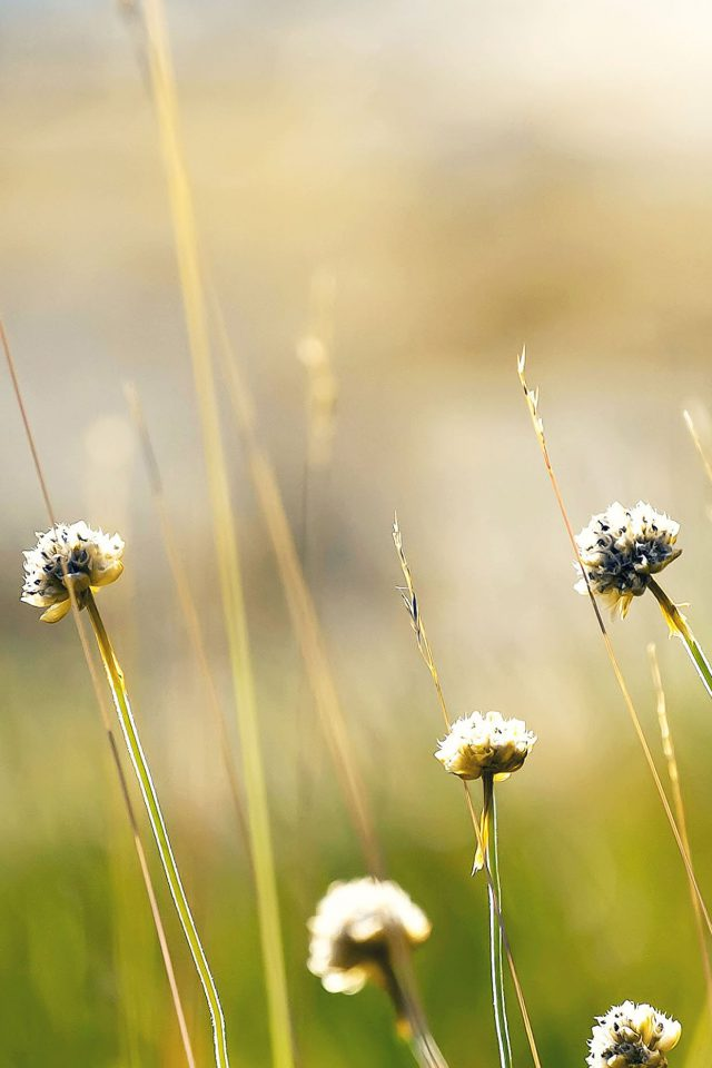 Wallpaper Flower Dandelion Green Nature Android wallpaper