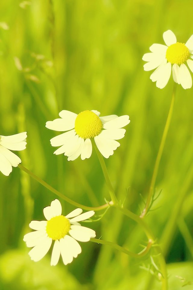 Wallpaper Spring Flower White Grass Nature Android wallpaper