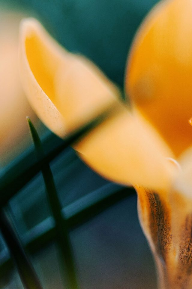 Wallpaper Yellow Orange Crocus Flower Nature Android wallpaper