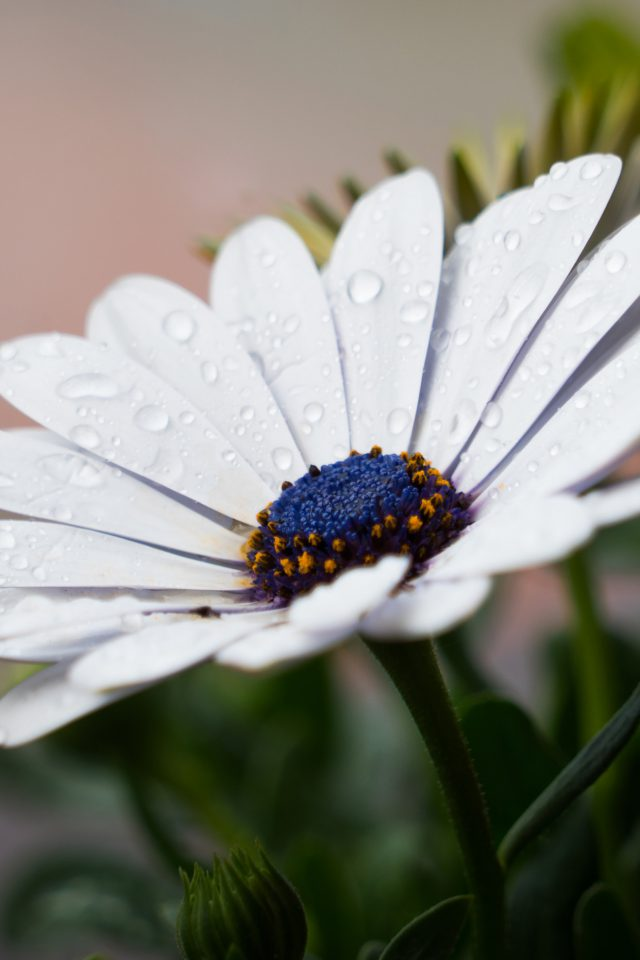 White Flower Nature Spring Rain Android wallpaper