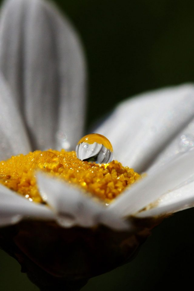 White Flower Rain Drop Nature Android wallpaper