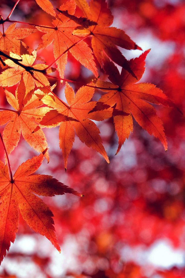 Fall Leaf Red Mountain Bokeh Android wallpaper