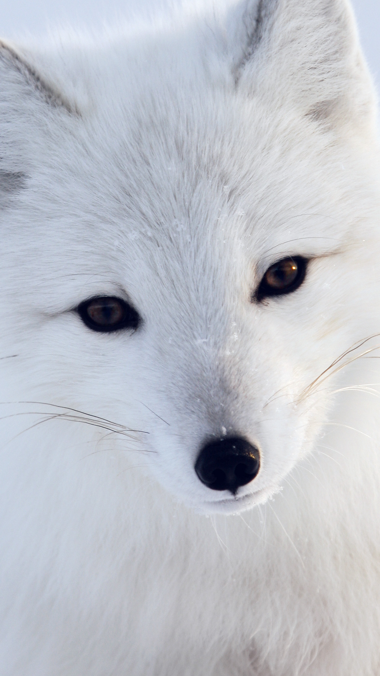 Artic Fox White Animal Cute Android wallpaper
