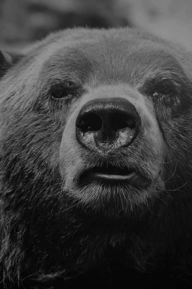 Bear Face What The Hell Nature Bw Dark Animal Android wallpaper