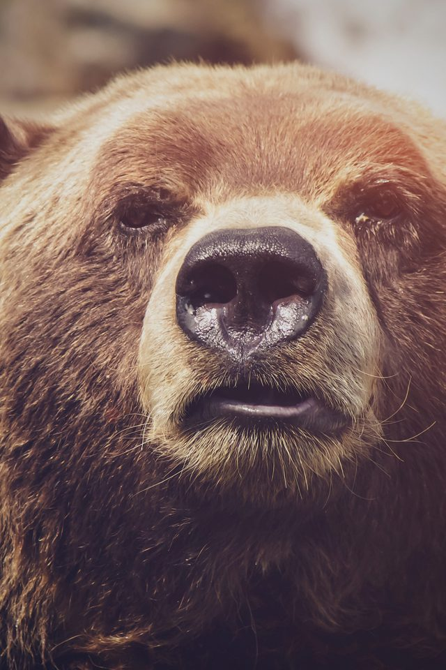 Bear Face What The Hell Nature Flare Animal Android wallpaper