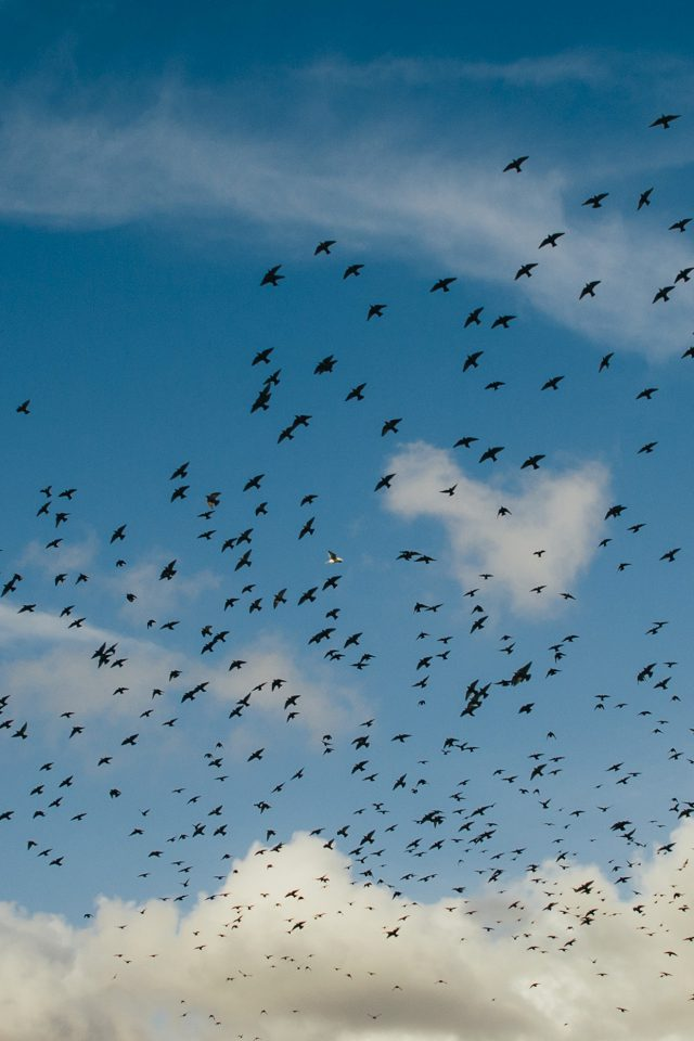 Birds Sky Animal Fly Blue Cloud Nature Android wallpaper