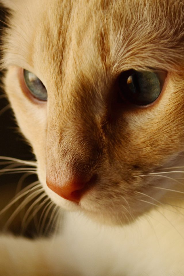 Cat Face Cute Orange Animal Android wallpaper