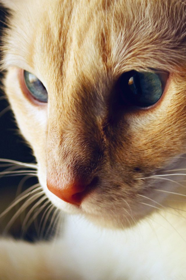Cat Face Cute Orange Animal Blue Android wallpaper