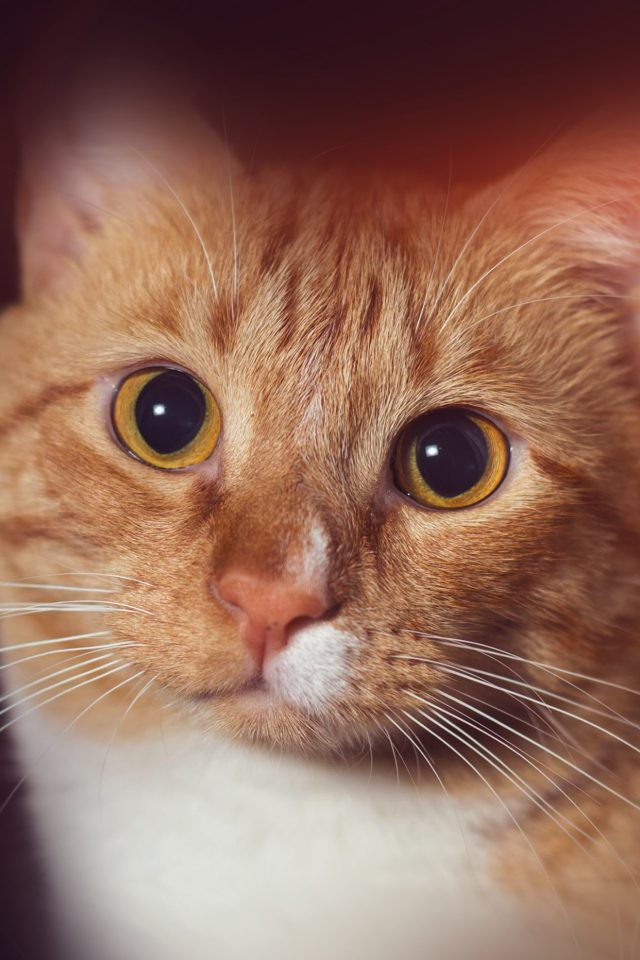 Cat Face Eye Animal Cute Nature Flare Orange Android wallpaper