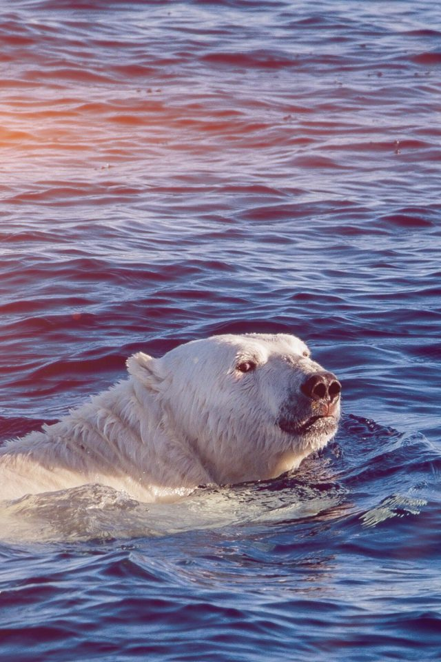 Dont Watch Me Swim Polar Bear Sea Animal Flare Android wallpaper