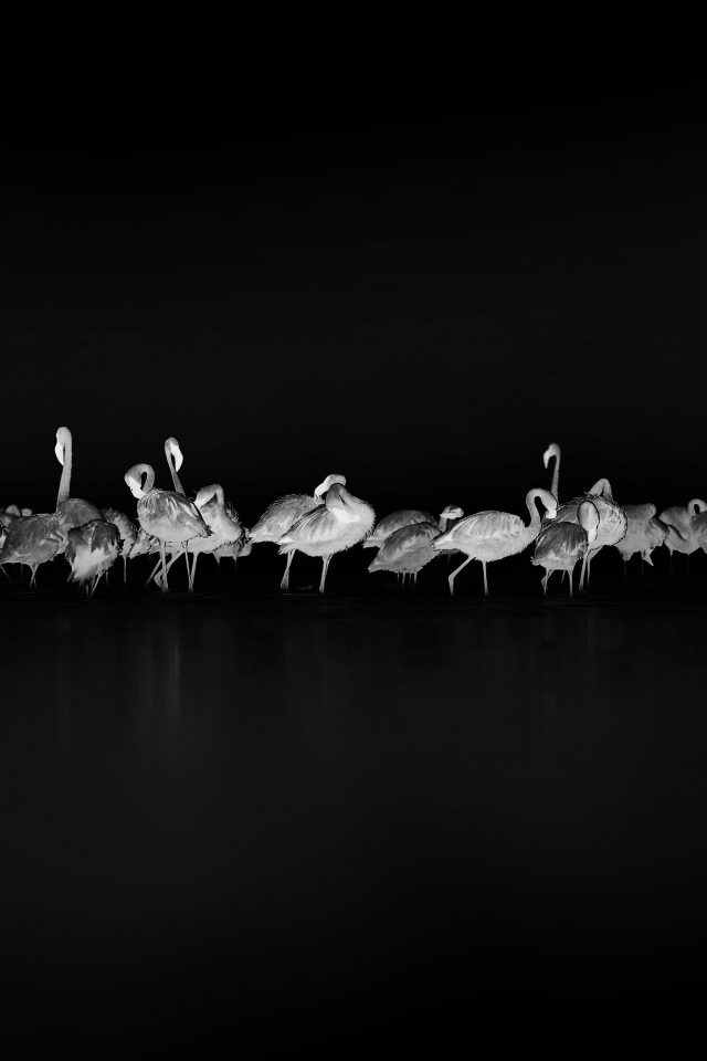Flamingos Black Peace Animal Nature Birds Android wallpaper