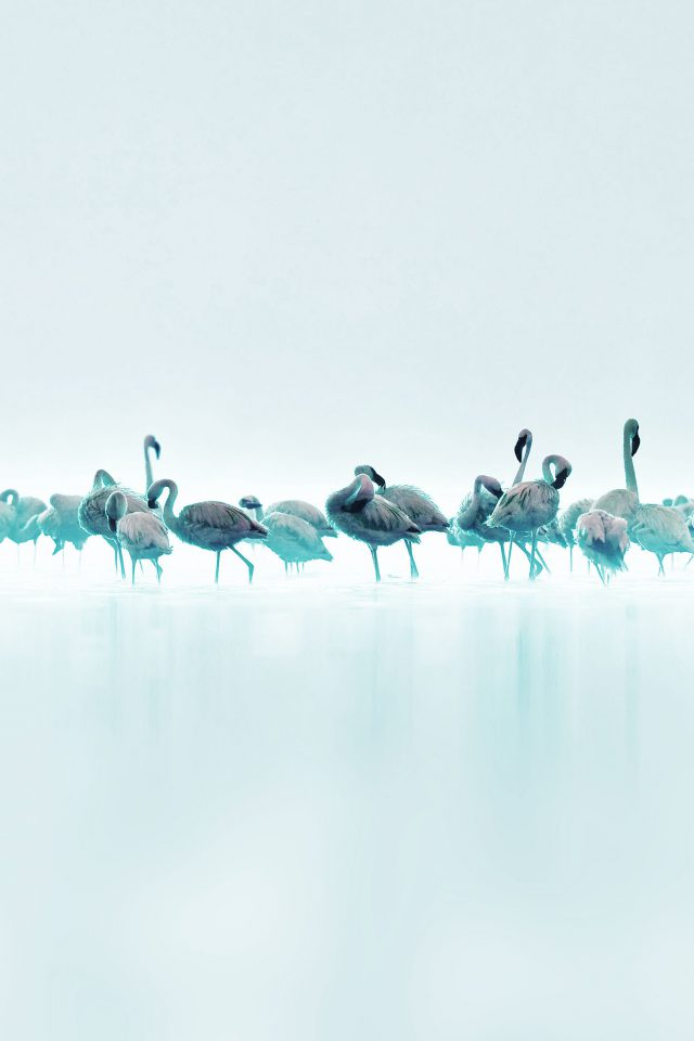 Flamingos Blue Peace Animal Nature Birds Android wallpaper