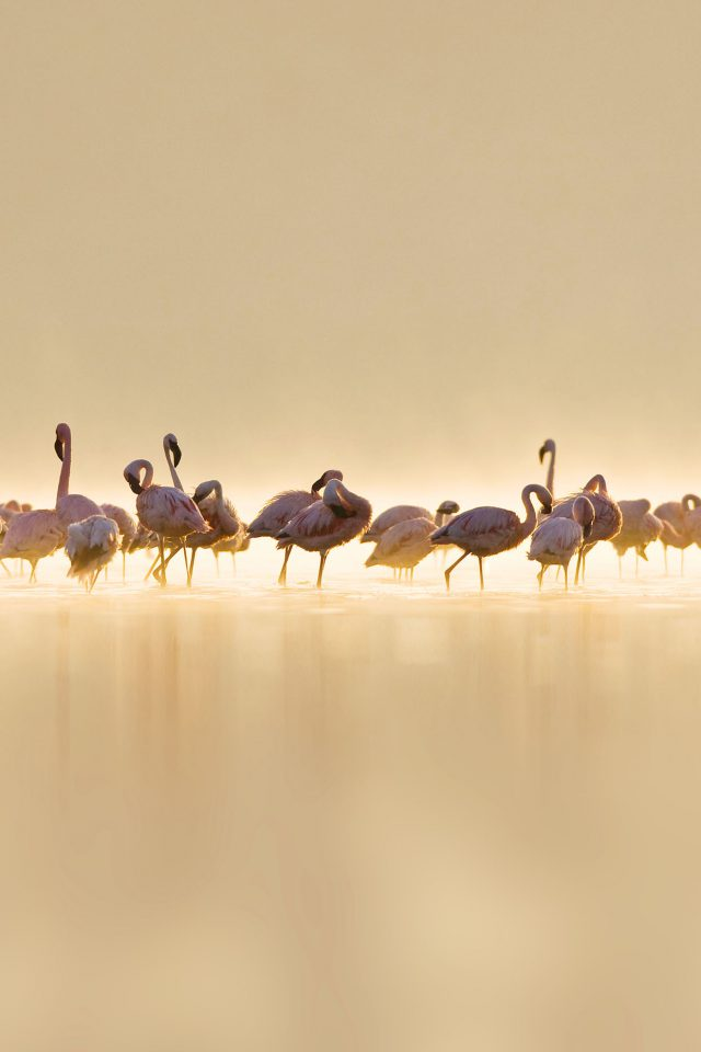 Flamingos Peace Animal Nature Birds Android wallpaper
