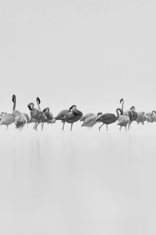 Flamingos White Peace Animal Nature Birds Android wallpaper