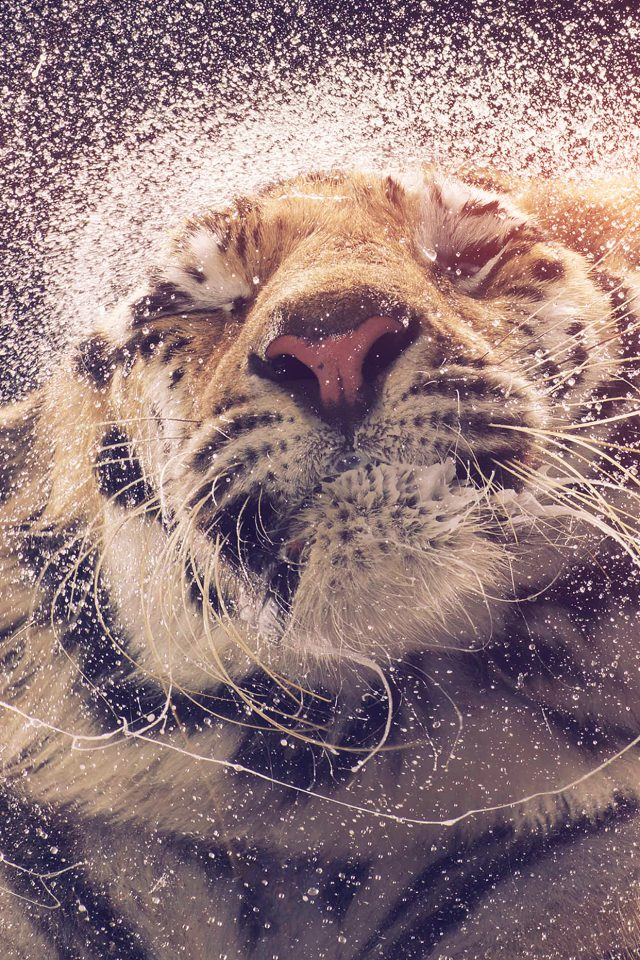 Kanja Shaking Tiger Water Animal Flare Android wallpaper