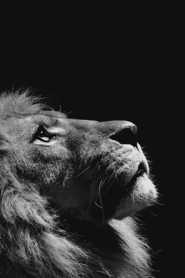 Lion Looking Sky Animal Nature Dark Photo Android wallpaper