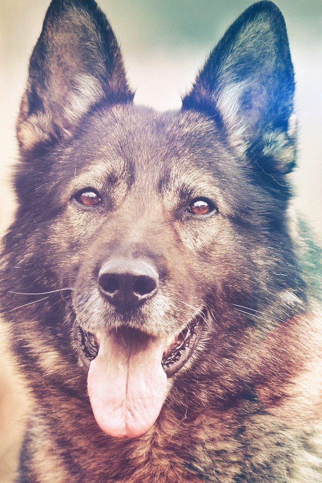 My Shepherds Dog Flare Smile Animal Nature Android wallpaper