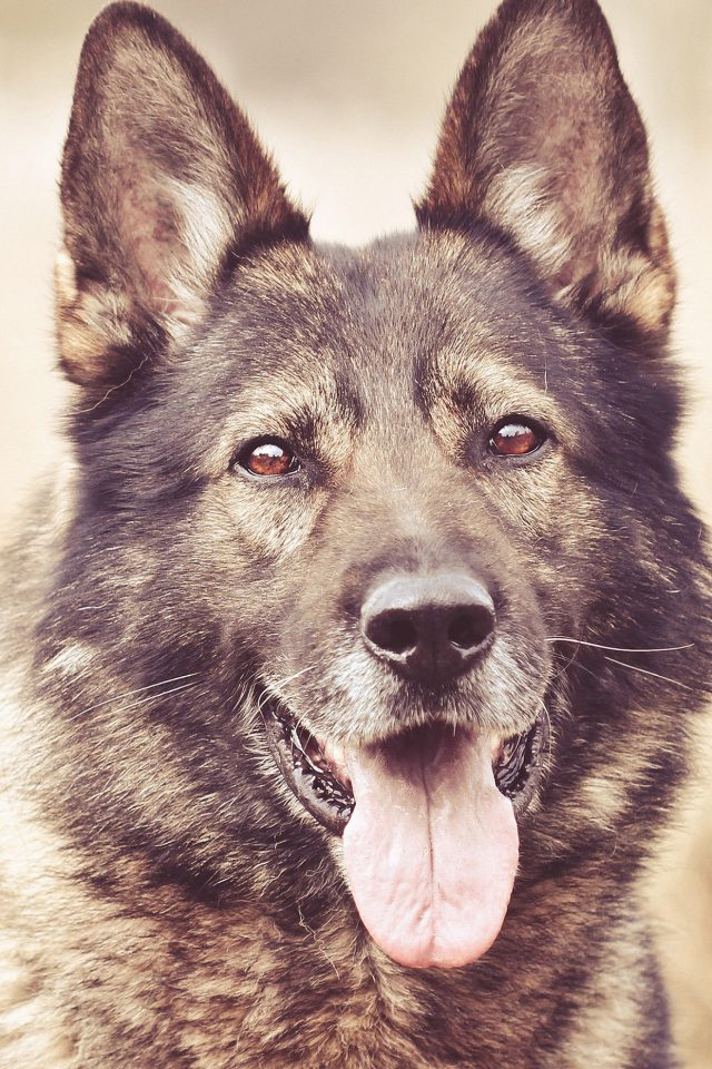 My Shepherds Dog Smile Animal Nature Android wallpaper