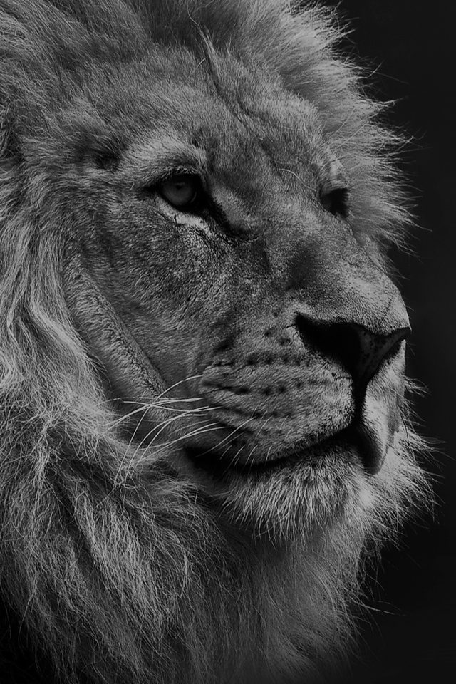 National Geographic Nature Animal Lion Dark Bw Android wallpaper