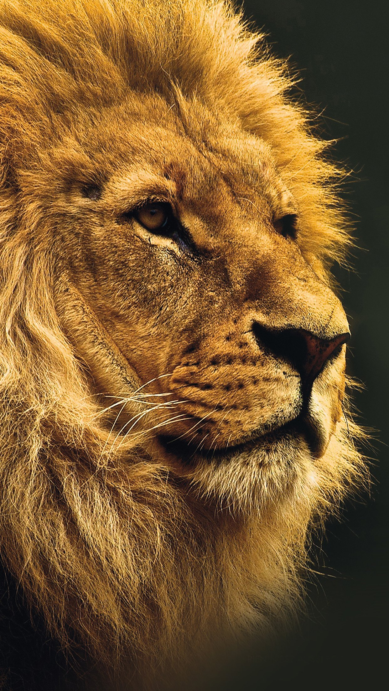 National Geographic Nature Animal Lion Yellow Android wallpaper