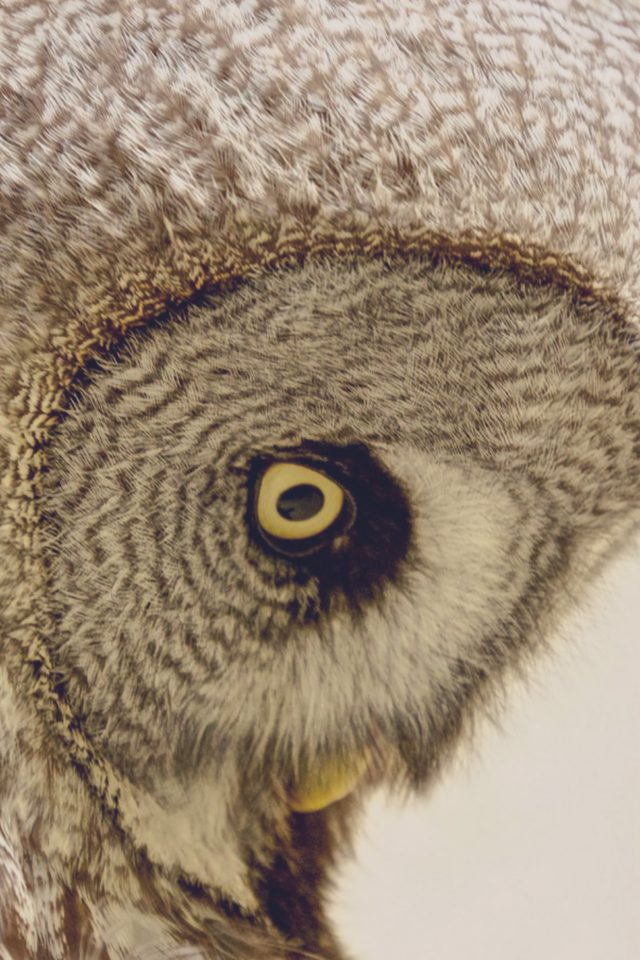 Owl Eye Animal Nature Android wallpaper