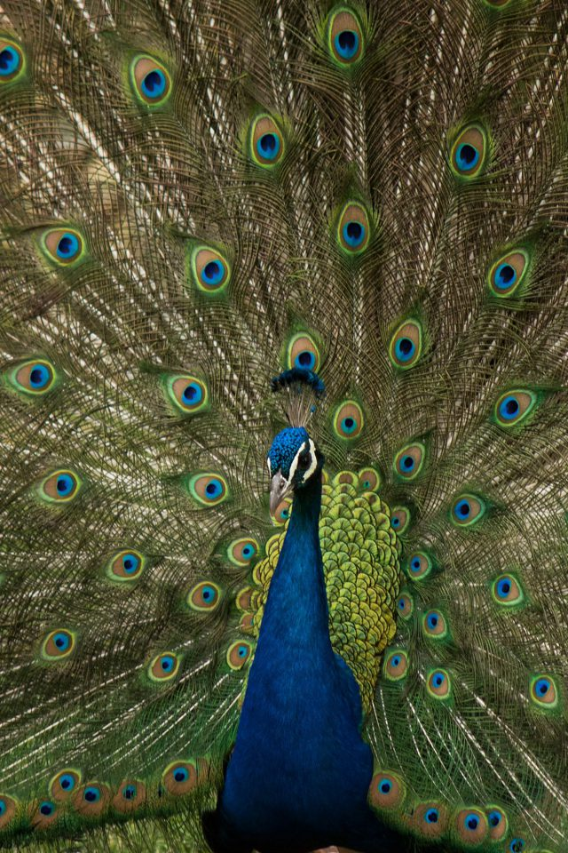 Peacock Animal Beautiful Nature Android wallpaper