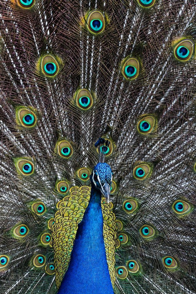 Peacock Animal Bird Art Android wallpaper