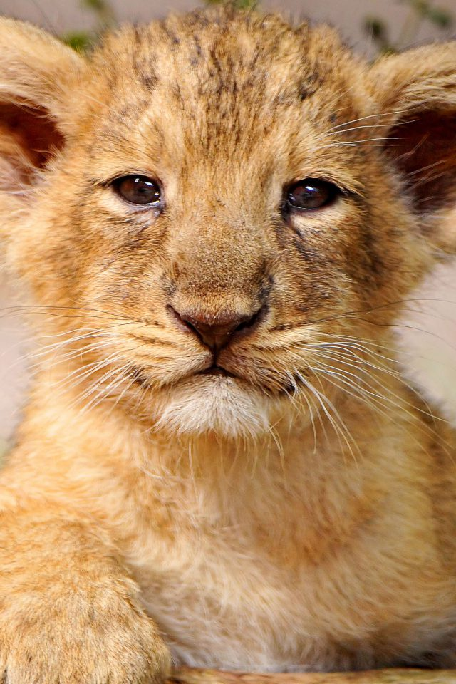 Proud Posing Cub Animal Nature Android wallpaper