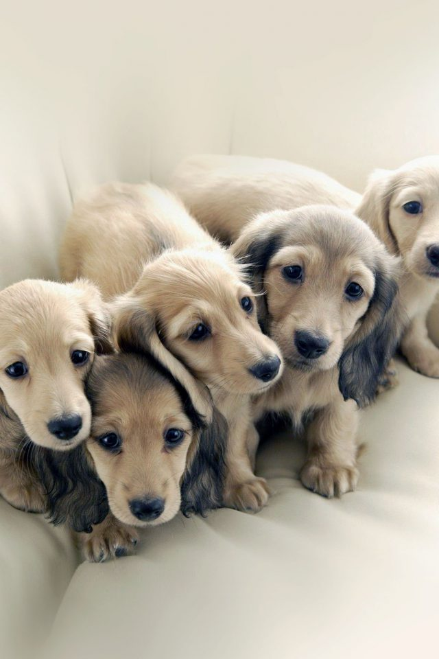 Puppy Dog Retriever Family Animal Android wallpaper
