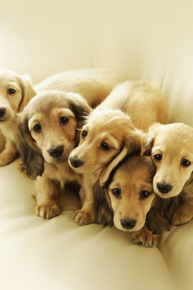 Puppy Retriever Family Animal Android wallpaper