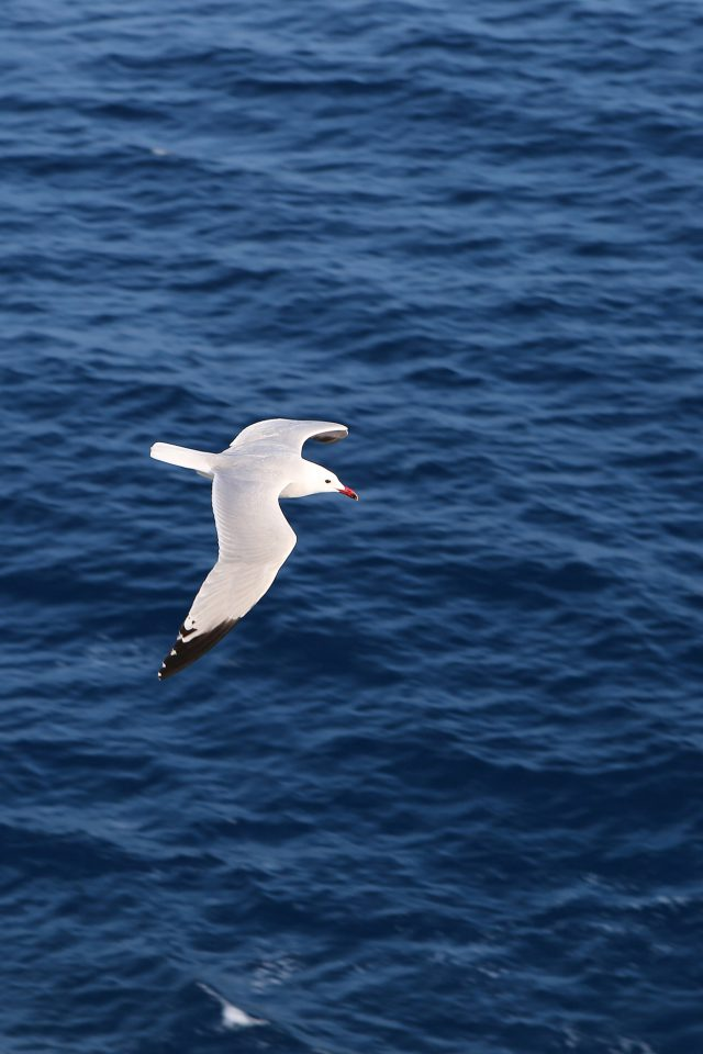 Seagull Bird Sea Ocean Animal Nature Android wallpaper