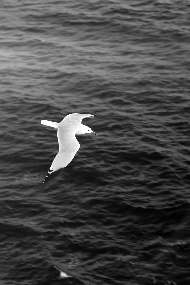 Seagull Bird Sea Ocean Animal Nature Dark Android wallpaper